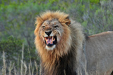 Safari - Lions